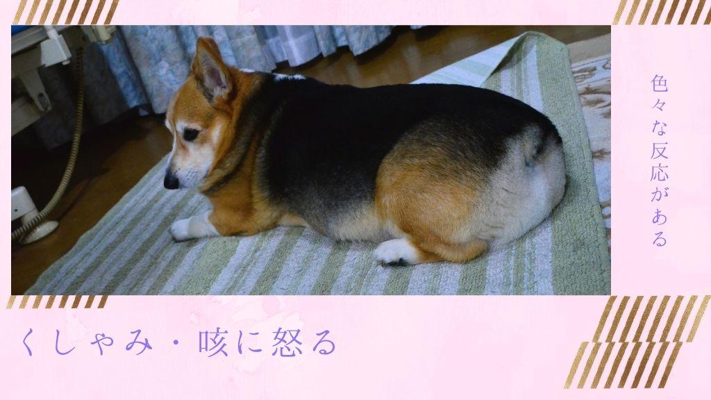 犬がくしゃみや咳(せき)に怒る?理由や様々な犬の反応を紹介します
