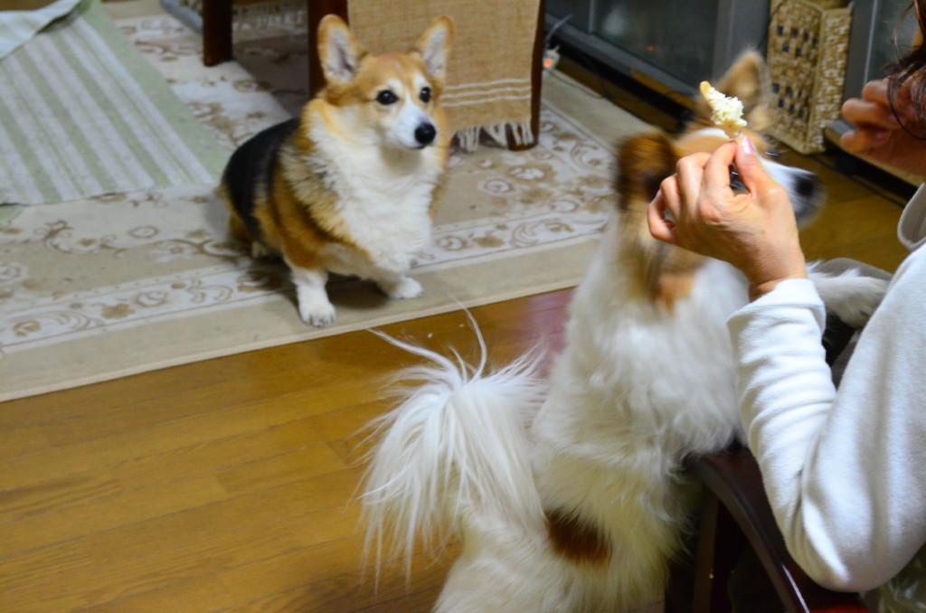 まとめ 風や雷、花火の音を怖がる犬には、気を紛らわすようにして逃げださないように注意をしましょう