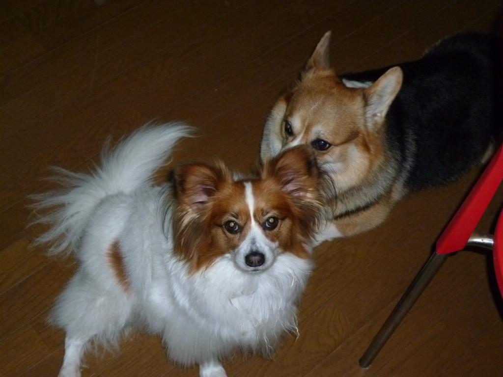 まとめ 犬を多頭飼いする場合はメリットとデメリットや注意点をよく考えてあげてください