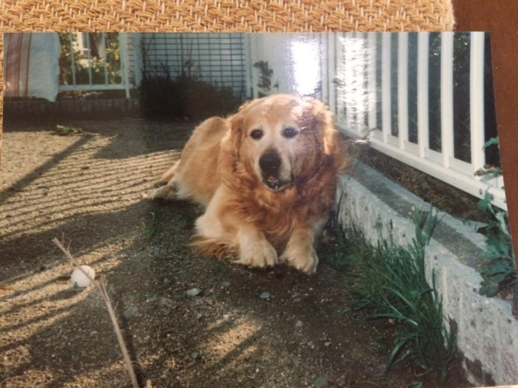愛犬ゴールデンレトリバーのジョンくんの体調が悪くなった