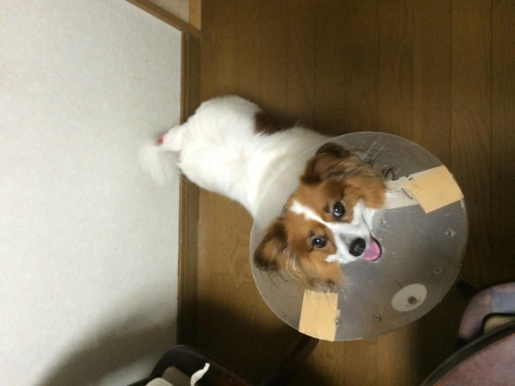 犬のホットスポット(急性湿疹)、急性湿性皮膚炎・化膿性外傷性皮膚炎とは?