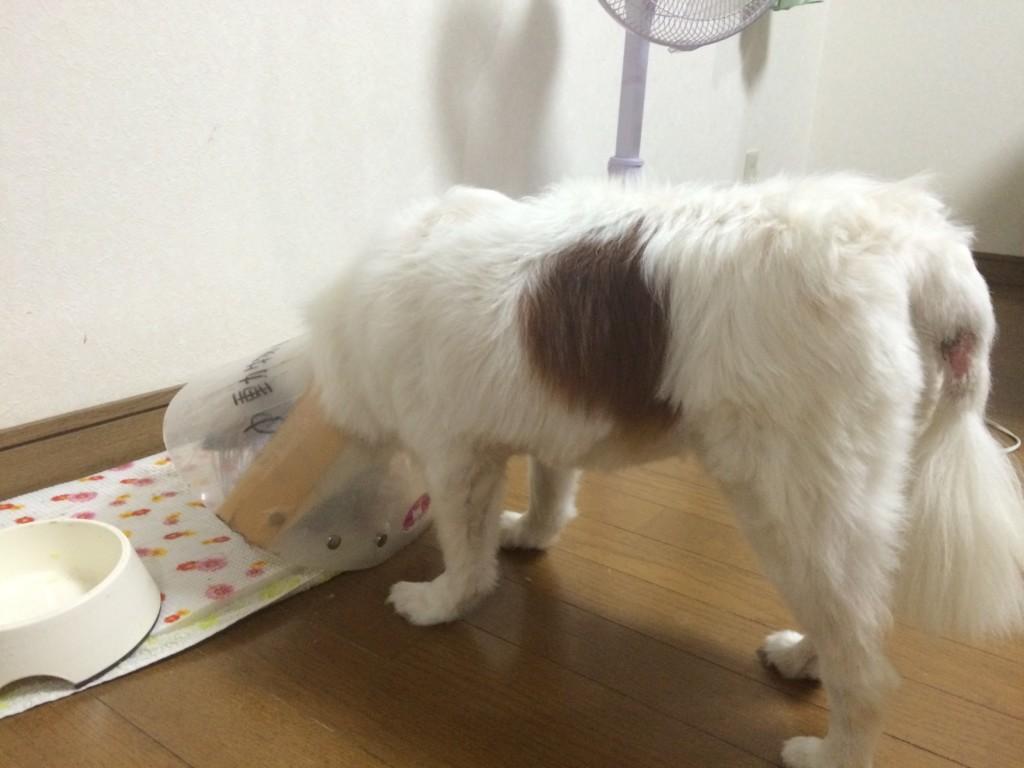 小型犬で活発な子に多い、突然犬の後ろ足がケンケン状態に