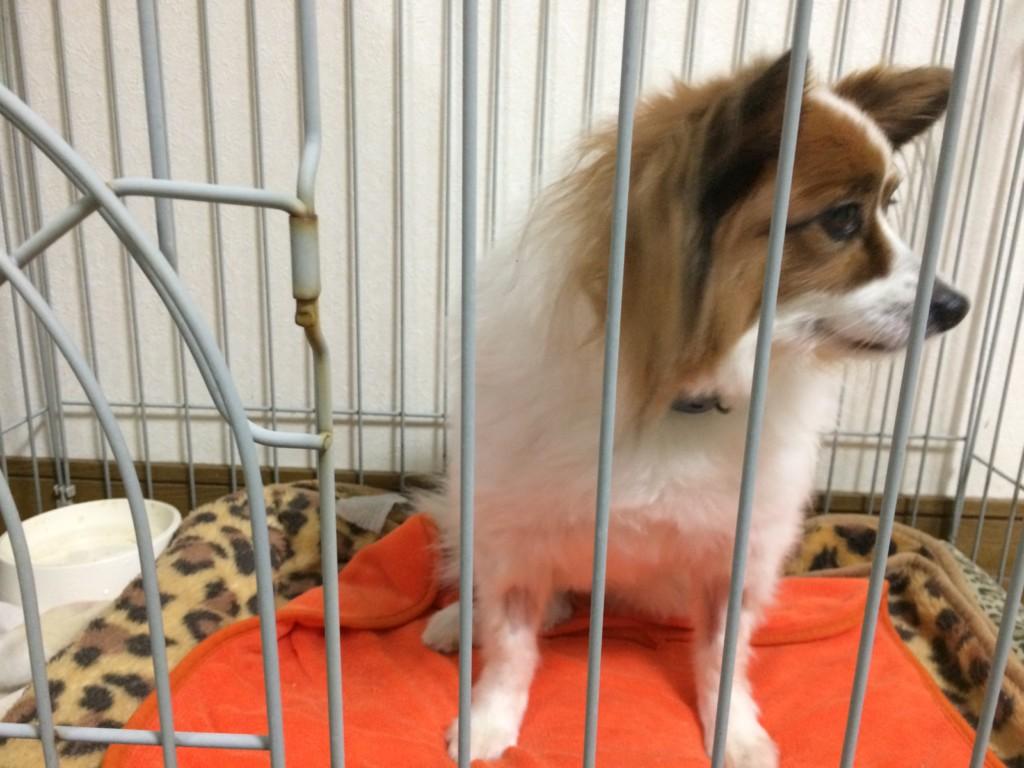 犬の前十字靭帯断裂の入院期間