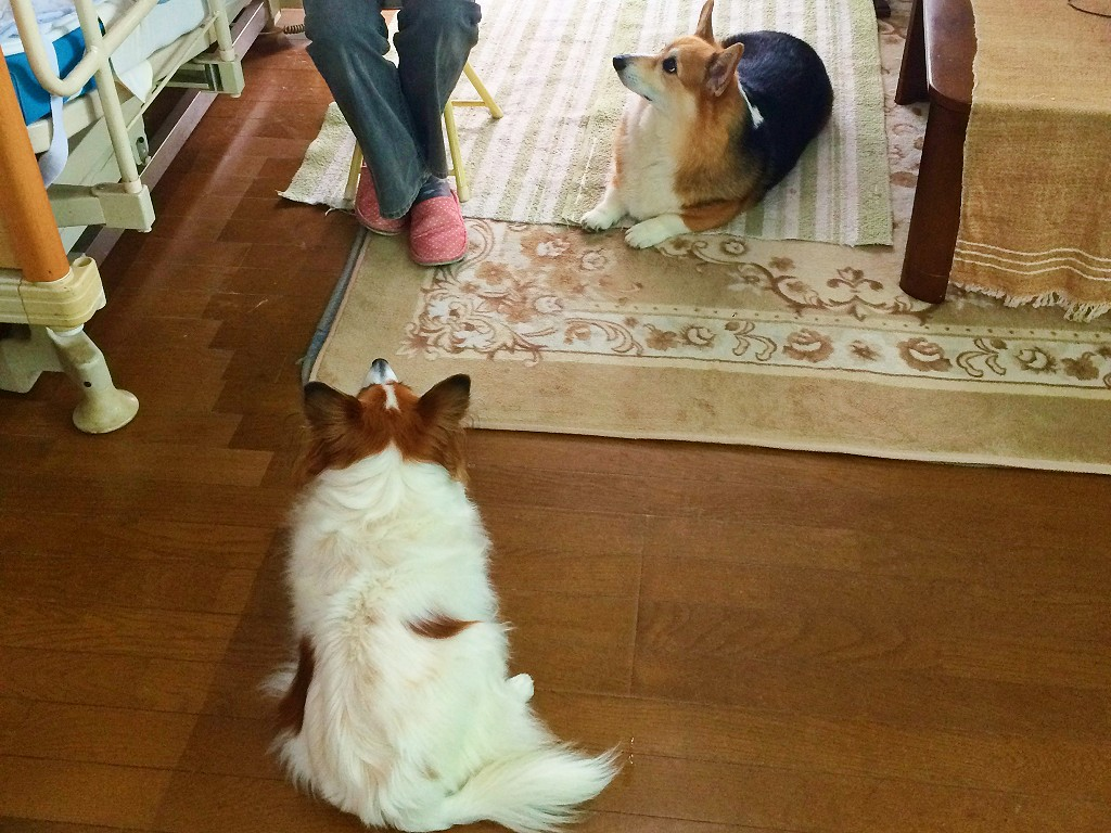 まとめ 犬の年齢を人間の年齢に例えると何歳なのかを調べて、シニア犬は年に2回健康診断を受けましょう