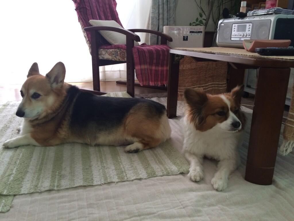 犬の年齢の早見表!愛犬の年齢を人間に例えると何歳になる?計算式は?