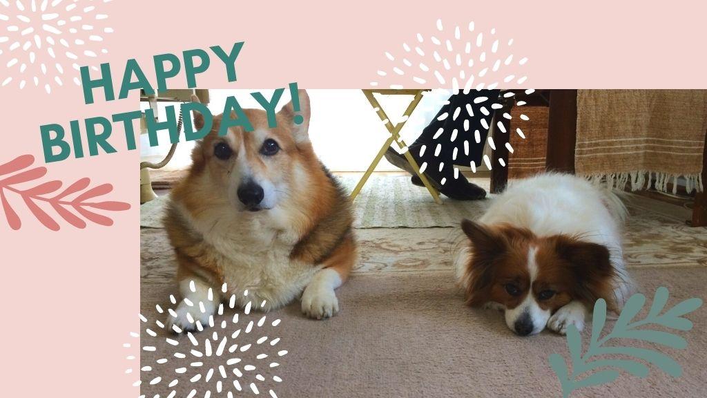 お誕生日おめでとう!ウェルシュ・コーギーの海(カイ)くん14歳とパピヨンの桜(サクラ)さん9歳