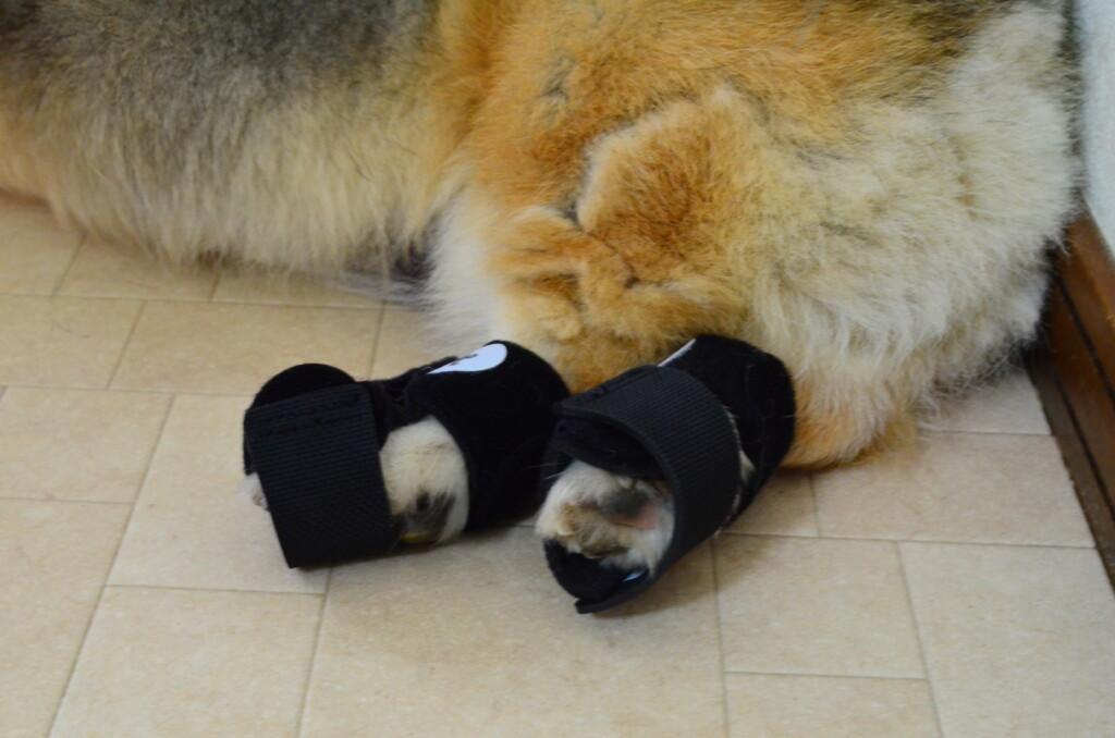犬にナックルンを履かせてみたけど歩けなかった
