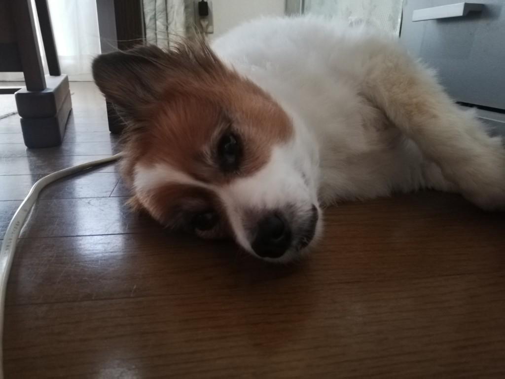犬の胆嚢の病気や原因・症状・検査法・治療法