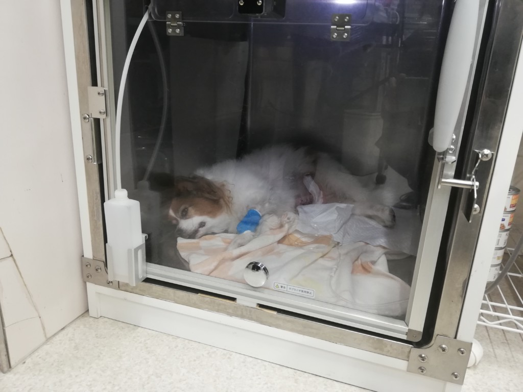 犬の脾臓の摘出の入院期間や手術費用